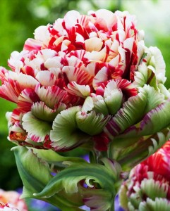 Tulipan Double Flaming Bird (rozmiar: 12/14) - 1szt.