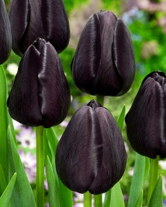 Tulipan Queen of the Night (rozmiar: 12/+) - 25szt.