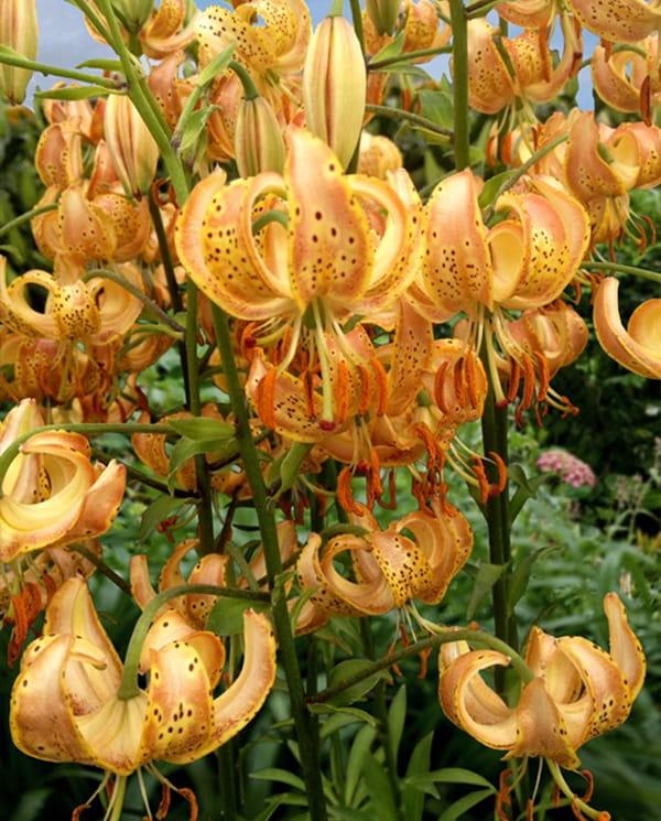 Lilia Martagon Peppard Gold (rozmiar:22/24)
