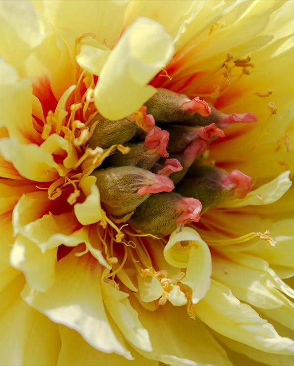 Piwonia Drzewiasta ITOH 'Garden Treasure' (oczek 3-5)
